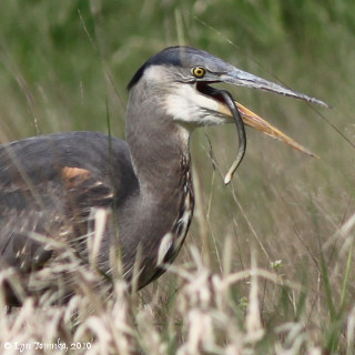 Image, 2010, Steigerwald NWR, Washington, click to enlarge