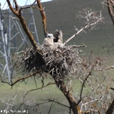 Image, 2013, Great Horned Owl, Wasco County, Oregon, click to enlarge